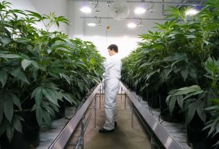 a man standing inside Cannabis field